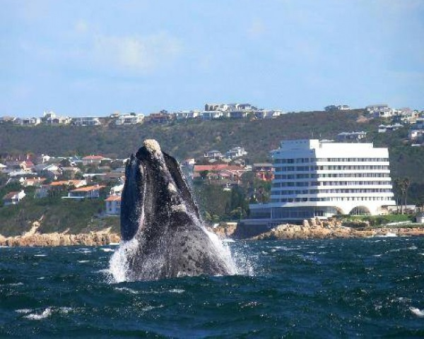 These Marine Giants May Be Viewed Along The Length Of The Magnificent  Indigenous Garden Route Coastline, Stretching From Witsand In The South To  Tsitsikamma ...